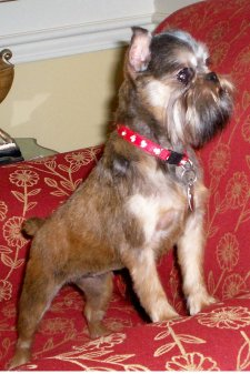 Brussels Griffon Rescue photo